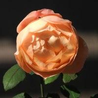 きょうの薔薇1024