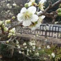 A white Japanese apricot