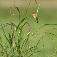 菊にノビタキ