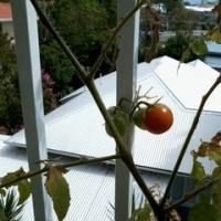 チェリー・トマト初収穫