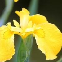 清々しい黄しょうぶ‥② 【ひで某】