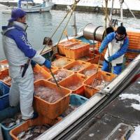 日本海沿岸ニシン速報(2月10日末現在) 盛漁期遅れ506㌧、前年同期に比べ4割減