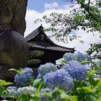 岩国、吉香公園のあじさい その2