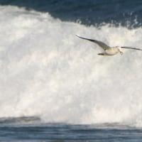 2月20日  高波で歌唄うカモメ