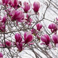冬鳥たちは帰り支度を始める・紫木蓮の花満開となる