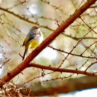 03/Dec 田貫湖と朝霧高原の星空と西湖で出会ったキセキレイ