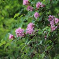 タニウツギ(スイカズラ科・タニウツギ属)落葉小高木