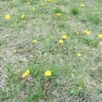 カントウタンポポの咲く庭