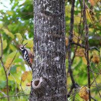 秋を楽しむオオアカゲラ