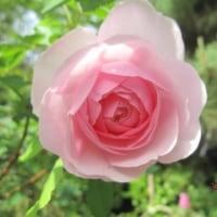 バラ 「オリビア・ローズ・オースチン」