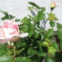 バラが咲きました&ディヴァインヒーリング