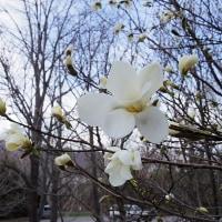 山は雪 里に桜咲く