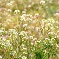川の土手にナズナの花