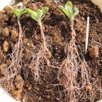 紫草、秋苗の育苗