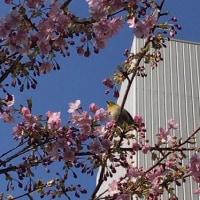 晩ご飯☆焼鳥&ジャーマンポテト☆オフィス街の中にも春の訪れが^^