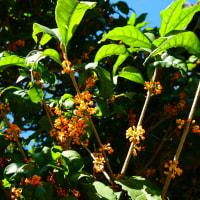 『季節の花』 金木犀