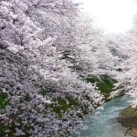 2017吉野瀬川の桜 その2