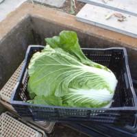 カリフローレ初収穫ですが