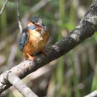 今日の鳥 カワセミ  幼鳥が出てるかなと思い見てきましたが、親鳥だけでした。