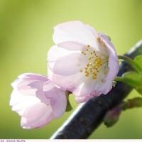 アーコレード 〈秋咲の桜〉