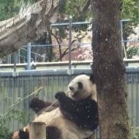 パンダのシンシンが妊娠した!?