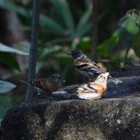 アトリとシメが、水飲み場で遊ぶ。