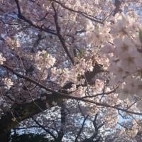 遅咲きの桜は悪いことでしょうか?