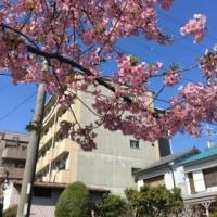 桜の様子を見に