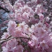国道沿いの枝垂れ桜