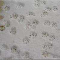 雪 猫 花