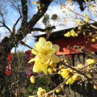 蠟梅(ロウバイ)の花 延命寺