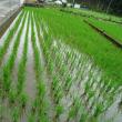 酒米「山田錦」の栽培は昨年より実施しています