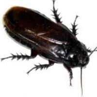 漬け物パックに立派なゴキブリが同居!!