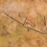 実の落ちたセンダンの木の枝に止まっているモズが何かを狙っているようです。 (Photo No.13995)