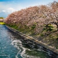 龍巌淵の散り桜 2017