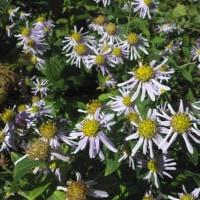 ノコンギク 変化の多い花