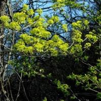 イタヤカエデ 鮮やかな黄花