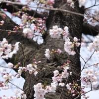 桜の季節がやって来た。