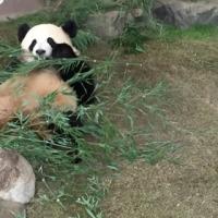 パンダ、パンダ、パンダ!