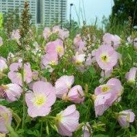 09・5月24日(日)多年草という雑草