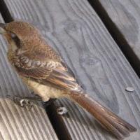 野鳥 受難の日