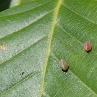 虫えい(虫こぶ):ブナの虫えい3種追加・・・