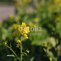 採用作品「菜の花の開花」