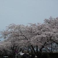 桜の開花状況 5