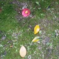 椿の花が散って・・・千の風になって・・・