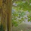 奄美大島の公園樹:インドボダイジュ