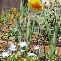 寒いなりに春咲き球根花の開花は進む