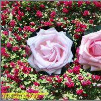 image2378 メセナ薔薇園で1