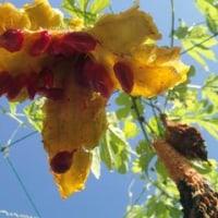 熟すと黄色くなって尻がパクッと割れて中から赤い種が出てくる ツルレイシ