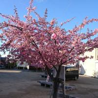 桑名の寺町の河津桜が満開です